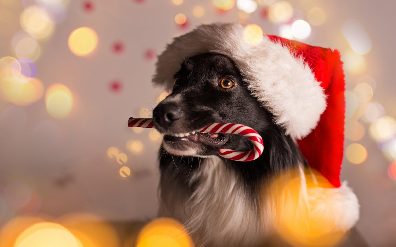 border collie kerst